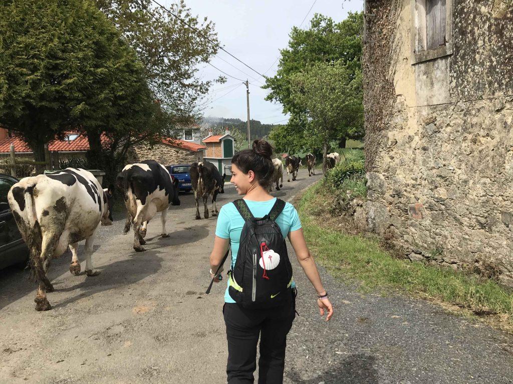 vacas camino de santiago arzúa